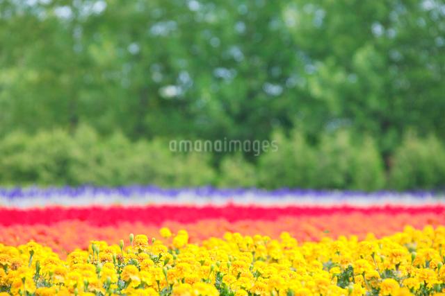 マリーゴールドの花畑の写真素材 [FYI01525500]