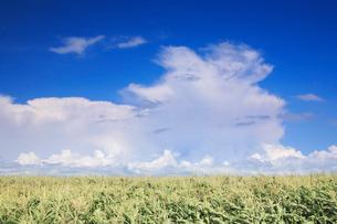 トウモロコシ畑と入道雲の写真素材 [FYI01525533]