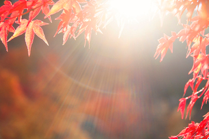 紅葉のモミジの葉と木漏れ日の写真素材 [FYI01525588]