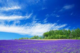 ラベンダーの花畑とすじ雲の写真素材 [FYI01525592]