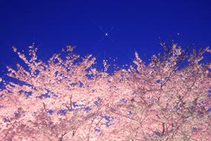 夜のソメイヨシノと宵の明星の写真素材 [FYI01525613]