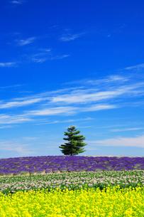 ラベンダーと菜の花畑の中の木立の写真素材 [FYI01525615]