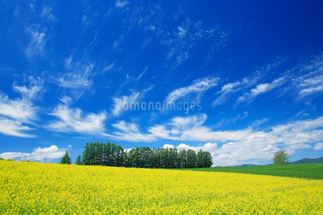 菜の花畑とカラマツ並木の写真素材 [FYI01525773]