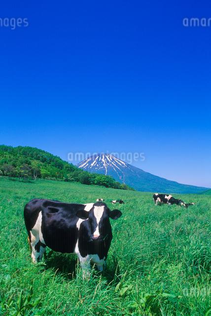 ホルスタインと羊蹄山の写真素材 [FYI01525796]