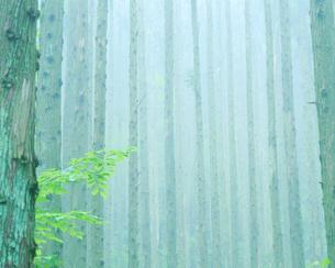 朝霧の杉林の写真素材 [FYI01525862]