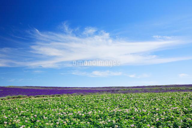 ラベンダーとジャガイモ畑の写真素材 [FYI01525875]