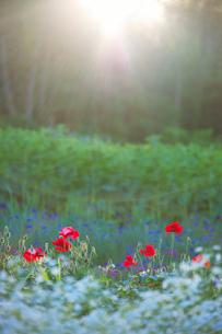 ポピーとカスミソウの花畑と光芒の写真素材 [FYI01525909]