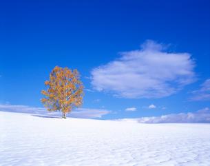 新雪の丘と紅葉の一本の木の写真素材 [FYI01525915]