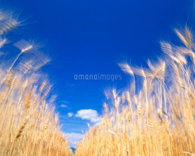 風に揺れる麦の穂 ハルユタカの写真素材 [FYI01525991]