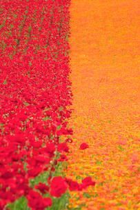 ポピーとカリフォルニアポピーの花畑の写真素材 [FYI01526006]