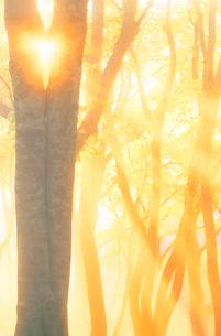 朝霧のブナ林の写真素材 [FYI01526018]