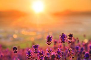 ラベンダーと夕日の写真素材 [FYI01526068]