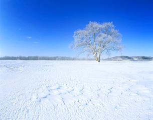 霧氷のはるにれの木 豊頃町 北海道の写真素材 [FYI01526088]