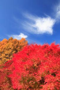 紅葉のモミジ林とすじ雲の写真素材 [FYI01526157]