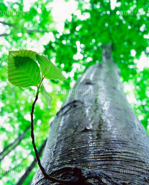 雨に濡れる新緑のブナ若葉の写真素材 [FYI01526158]