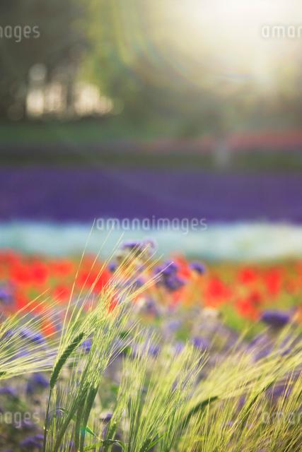 ビール麦とポピーとラベンダーの花畑の写真素材 [FYI01526162]