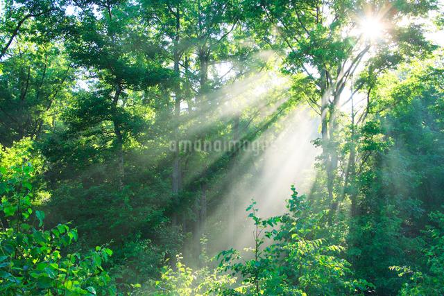 朝霧の立ちこめる樹林と光芒の写真素材 [FYI01526178]