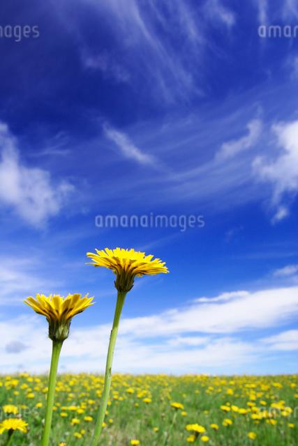 タンポポと牧草地とすじ雲の写真素材 [FYI01526245]