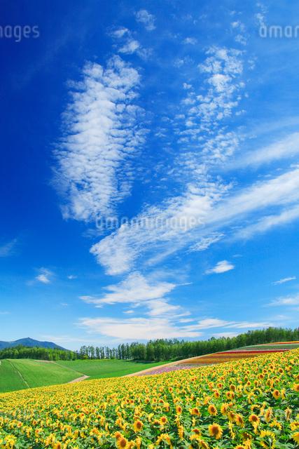 ヒマワリ畑と前富良野岳の写真素材 [FYI01526289]
