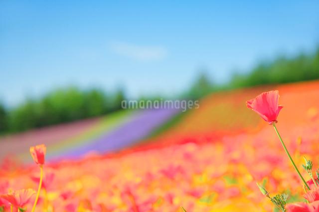 カリフォルニアポピーの花畑の写真素材 [FYI01526293]