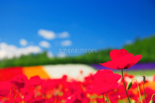 ポピーの花畑の写真素材 [FYI01526311]