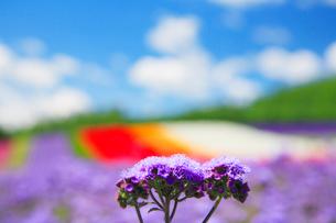 アゲラタムの花畑の写真素材 [FYI01526343]
