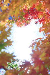 紅葉のモミジと輝く水面の写真素材 [FYI01526428]