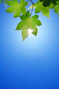 モミジの若葉と木もれ日の写真素材 [FYI01526444]