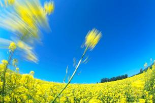 菜の花畑とカラマツ並木の写真素材 [FYI01526503]