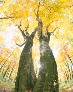 黄葉のブナと木漏れ日の写真素材 [FYI01526514]