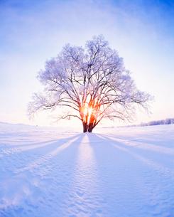 霧氷のハルニレの木 朝の写真素材 [FYI01526523]