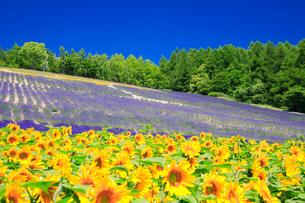 ヒマワリとラベンダーの花畑の写真素材 [FYI01526529]