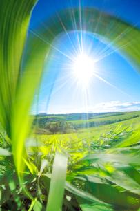 牧草と太陽の写真素材 [FYI01526668]