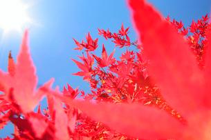 モミジと太陽 もみじ湖の写真素材 [FYI01526711]