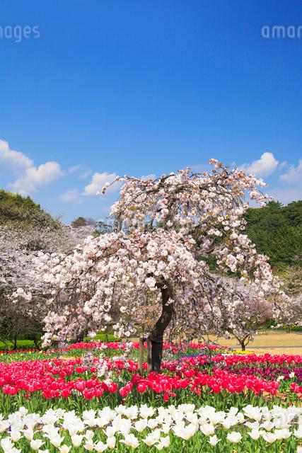 チューリップ畑と桜木立の写真素材 [FYI01526811]
