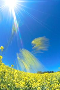 菜の花畑とカラマツ並木の写真素材 [FYI01526830]
