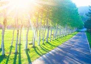 白樺並木と光芒と道路の写真素材 [FYI01526833]