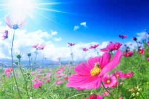 コスモスと蜜蜂 日の出公園の写真素材 [FYI01526836]
