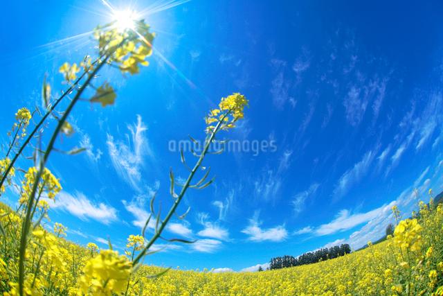 菜の花畑とカラマツ並木の写真素材 [FYI01526856]