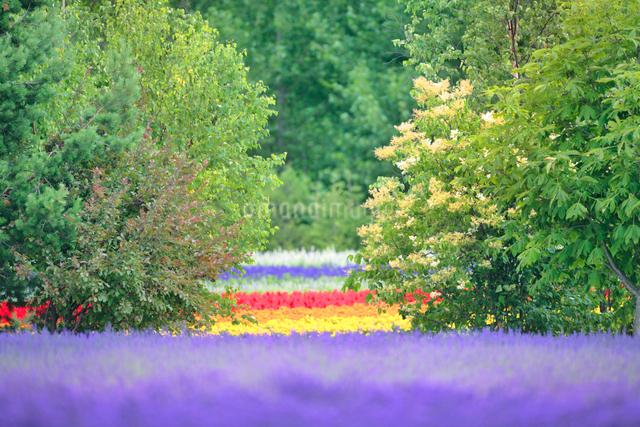 ラベンダーとマリーゴールドの花畑の写真素材 [FYI01526857]