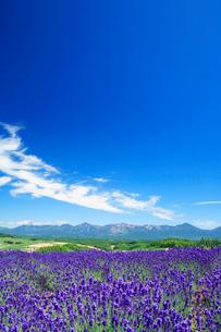ラベンダー畑と十勝連峰の写真素材 [FYI01526891]