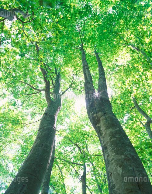 新緑のブナ林と木もれ日の写真素材 [FYI01526901]