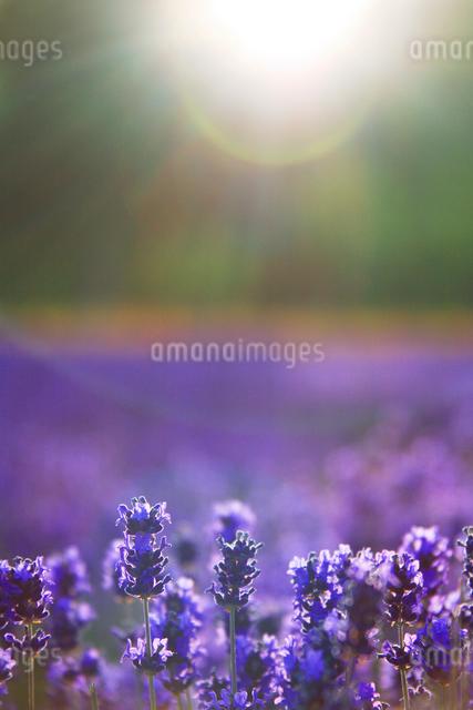ラベンダーと光芒の写真素材 [FYI01527083]