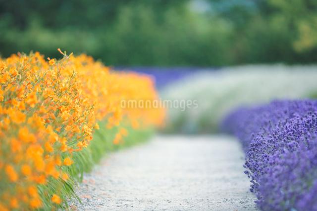 エゾカンゾウとラベンダーと遊歩道の写真素材 [FYI01527093]