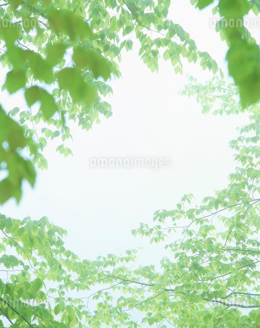 朝霧とブナの若葉の写真素材 [FYI01527121]