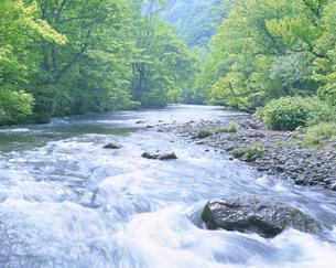 清流と新緑 奥入瀬渓流の写真素材 [FYI01527244]