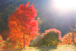 紅葉のモミジ木立と朝の光の写真素材 [FYI01527275]
