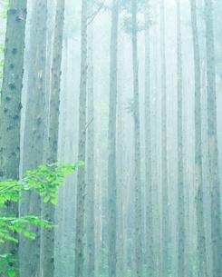 朝霧の杉林の写真素材 [FYI01527305]