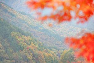 モミジなど秋の樹林 もみじ湖の写真素材 [FYI01527349]