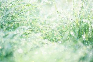 朝の藺草と水滴の写真素材 [FYI01527362]